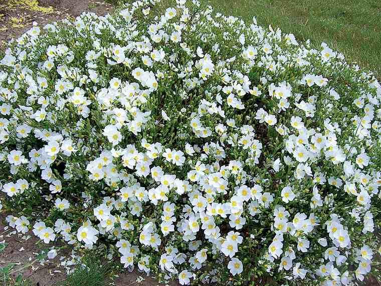 plantas de jardín-arbustos-cistus-jara