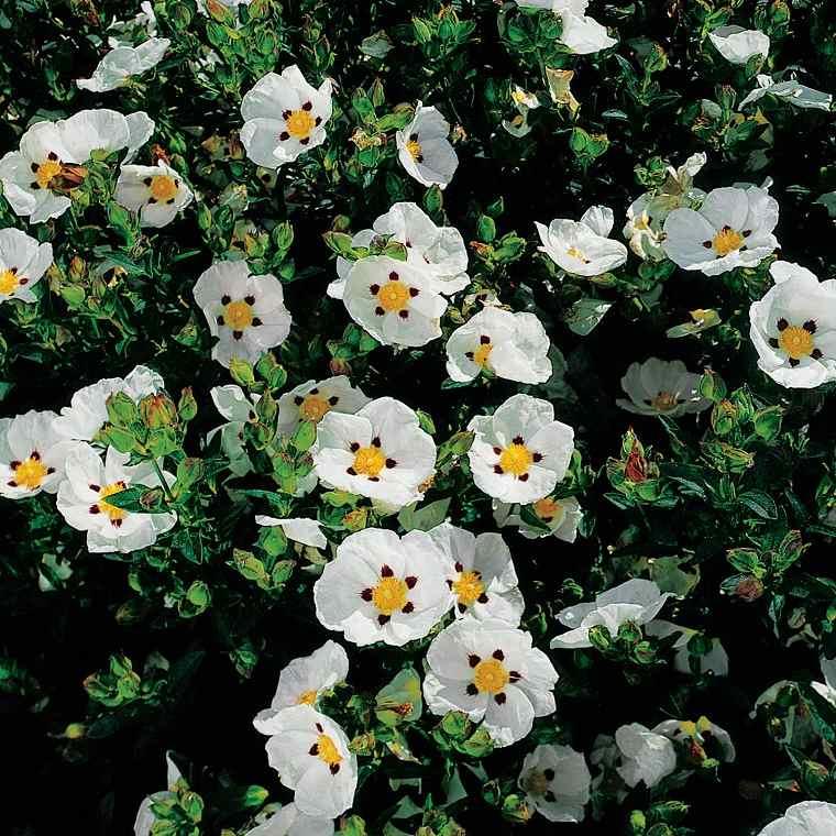 plantas de jardín-arbustos-cistus