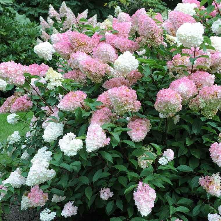 plantas-de-jardin-arbustos-hydrangea-paniculata