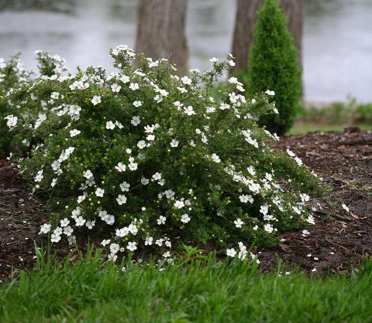 plantas de jardín-arbustos-potentilla-flores-blancas