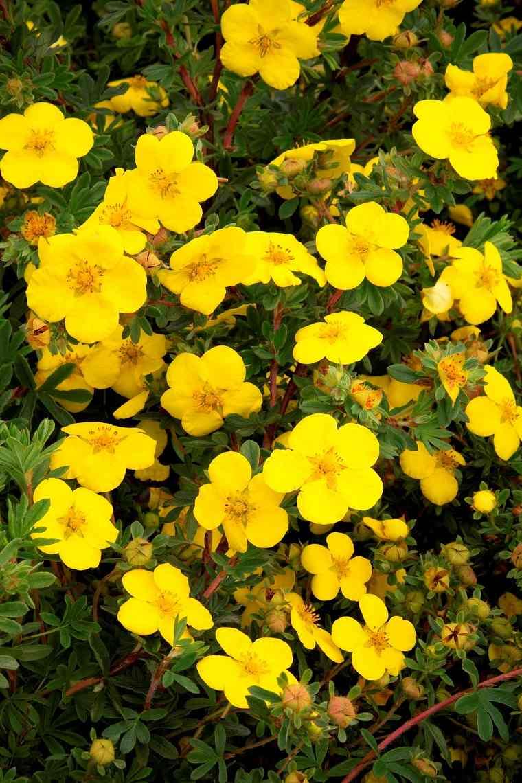plantas de jardín-arbustos-potentilla