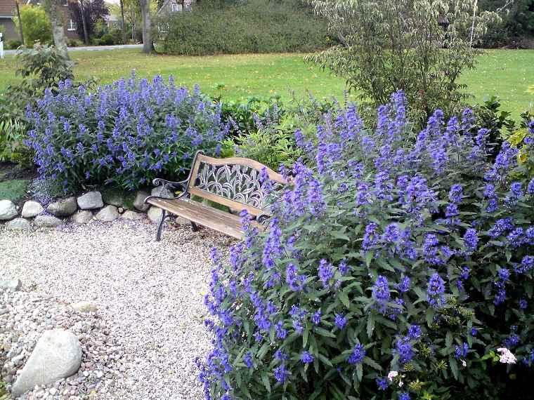plantas-de-jardin-ideas-arbustos-caryopteris