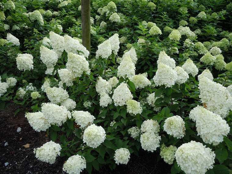 plantas-de-jardin-opciones-arbustos-hydrangea-paniculata