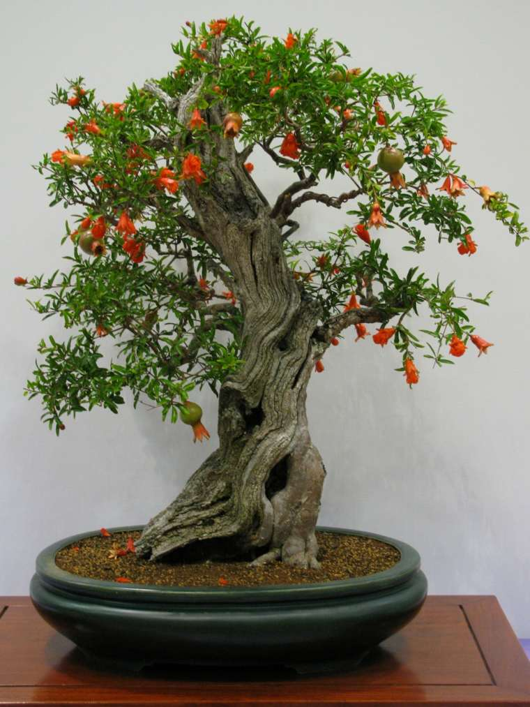 arbol-granada-bonsai-opciones-estilo