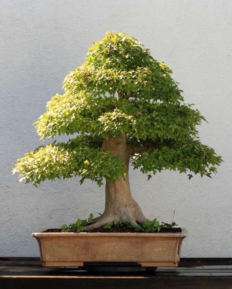 bonsai-arce-diseno-arbol-consejos