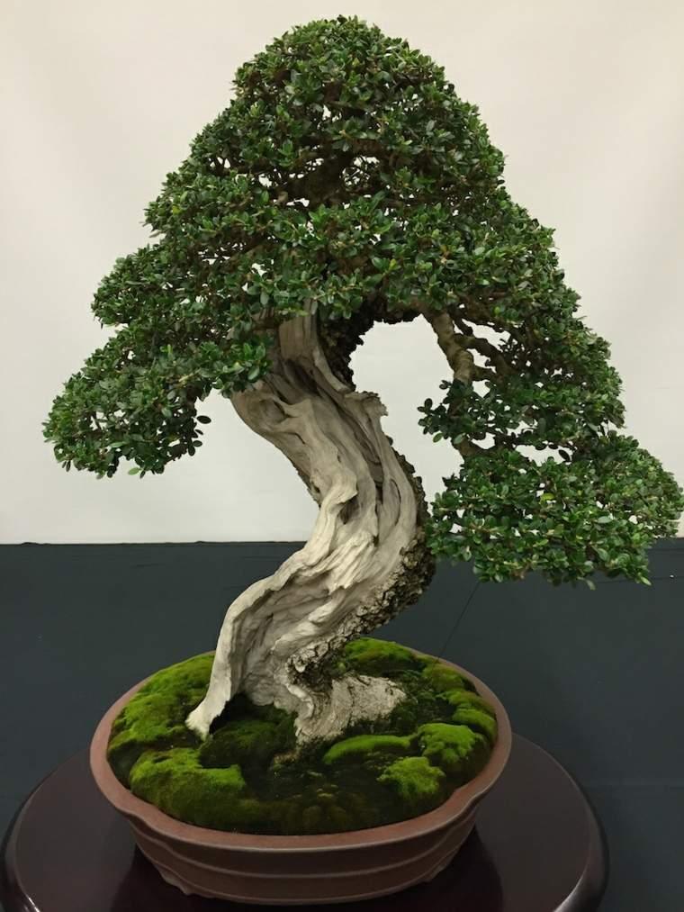 bonsai-grueso-bonito-opciones