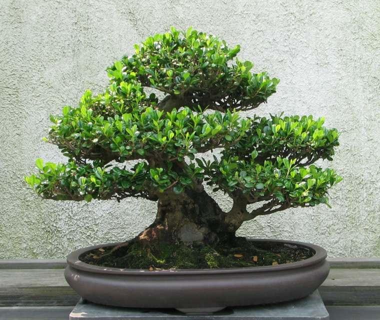 cómo cuidar un bonsái-arte-cuidado