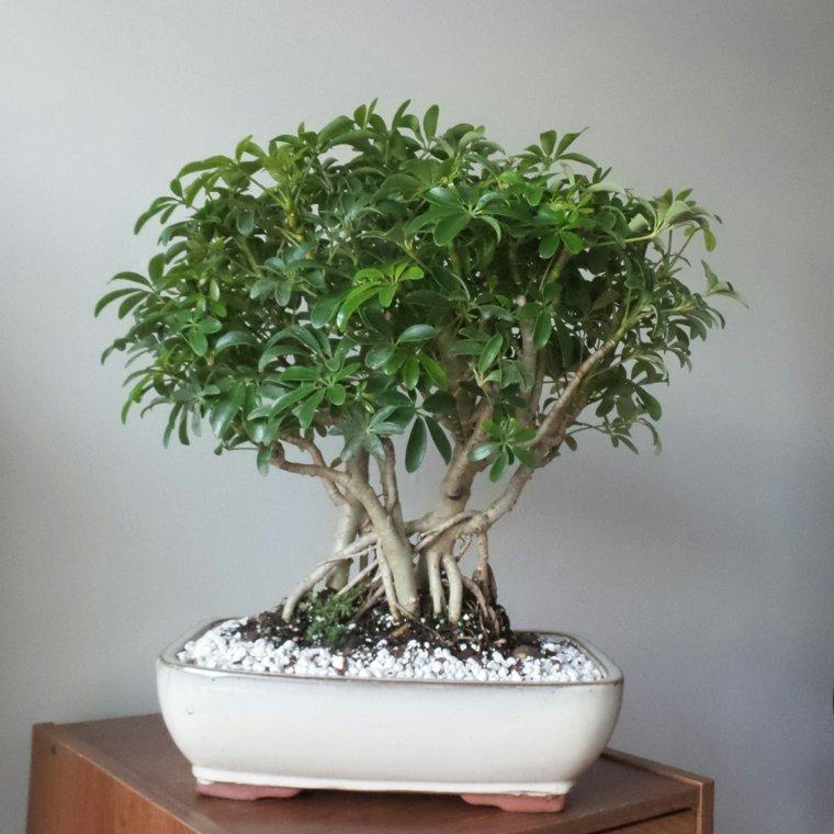 C mo cuidar un bons i los principios b sicos de su cuidado - Como cuidar bonsais ...