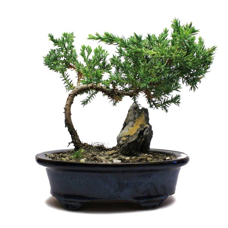 cómo cuidar un bonsái-ideas