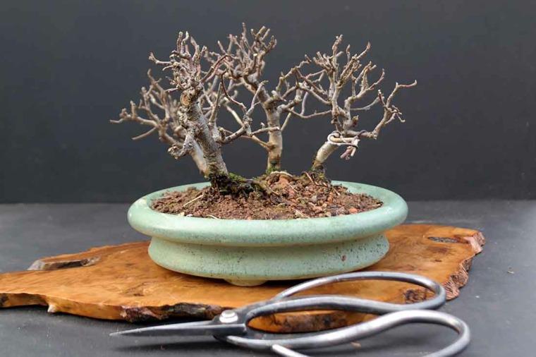 cómo cuidar un bonsái-opciones