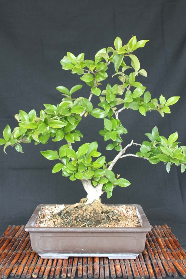 cultivo-cuidado-bonsai-casa-ideas