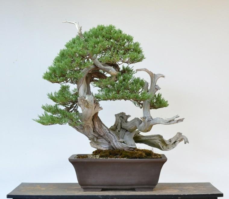 C mo cuidar un bons i los principios b sicos de su cuidado - Cultivo del bonsai ...