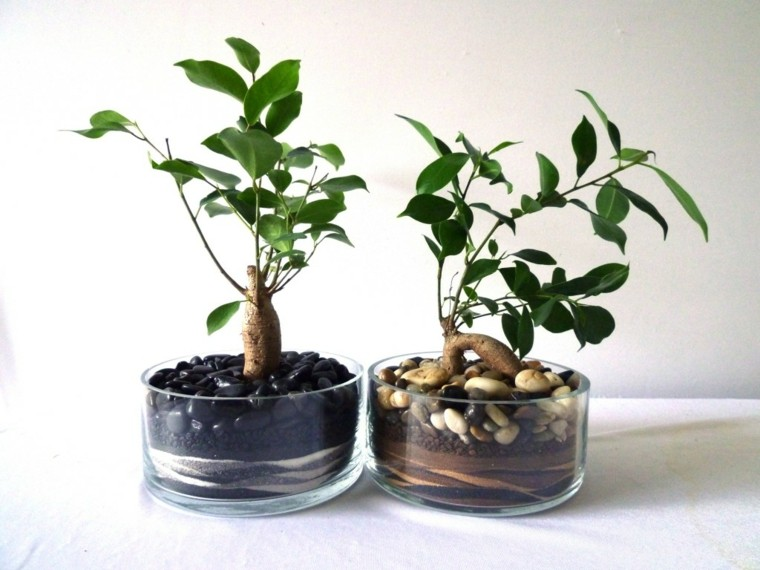 cultivo-cuidado-bonsai-ficus-ideas