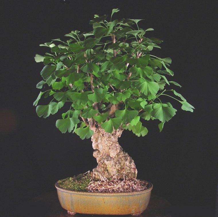 ginkgo-bonsai-opciones-arbol-ideas