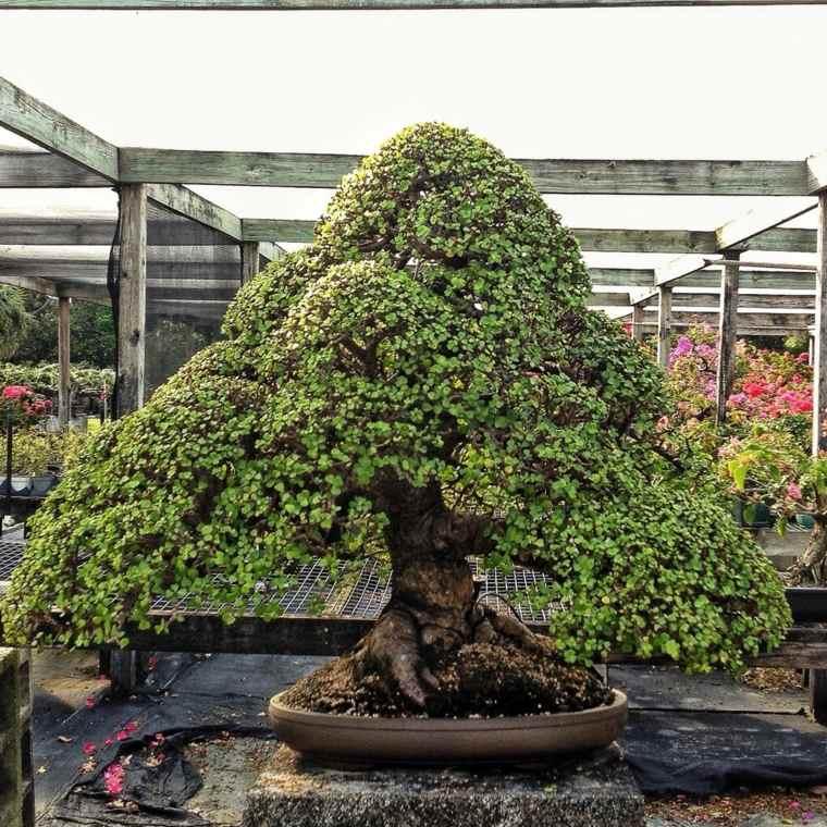 maravillosos-arboles-bonsai-cultivo-cuidado
