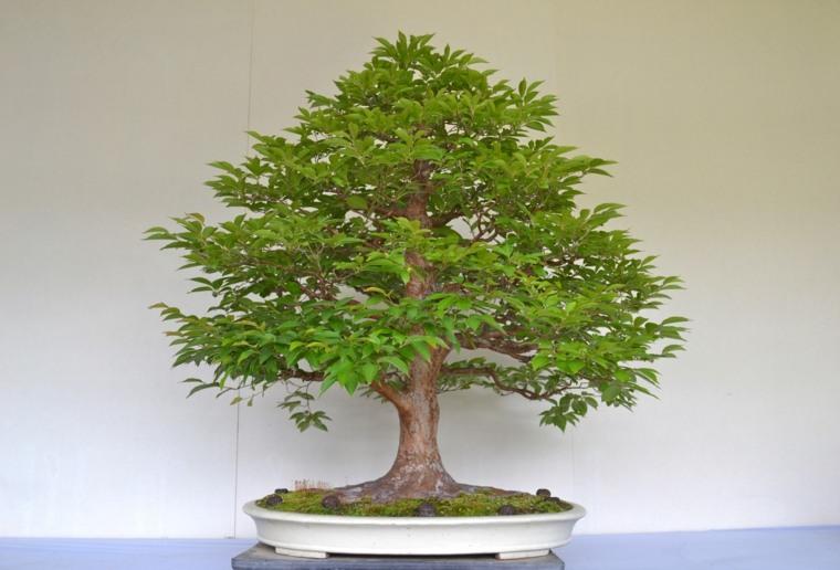 roble bonsai-cuidado-opciones-