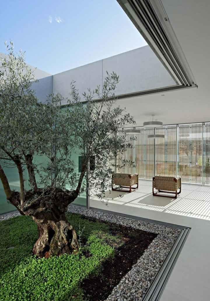 interior planta olivo pequeña