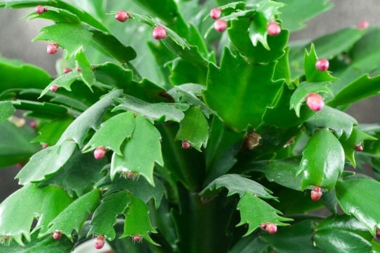 planta de cactus de Navidad