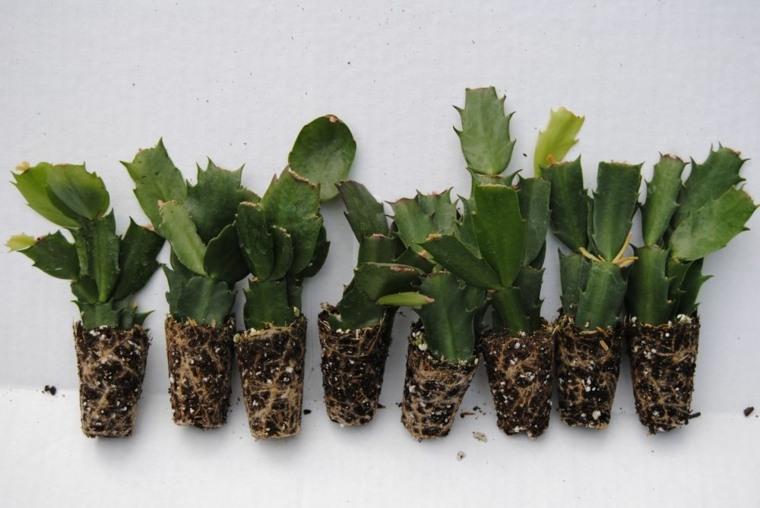 Cactus de navidad consejos para su plantaci n y cuidados for Como plantar cactus