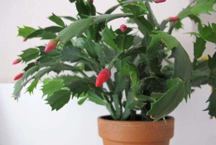 planta de cactus de Navidad con capullos