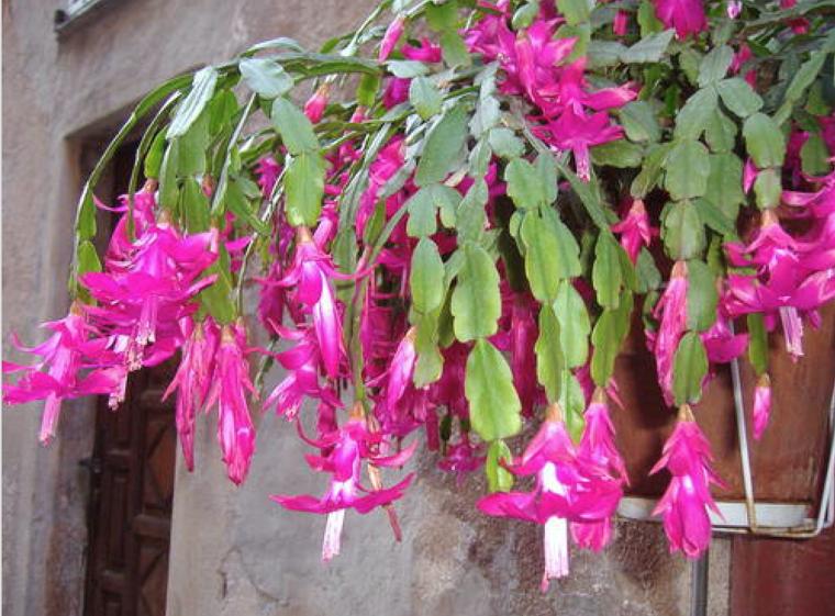 planta con bonitas flores color rosa