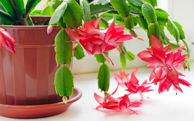 Cactus de navidad consejos para su plantaci n y cuidados - Cuidados planta navidad ...