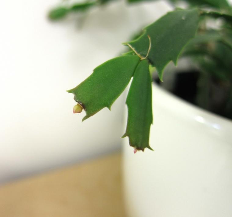 hojas de cactus con capullos