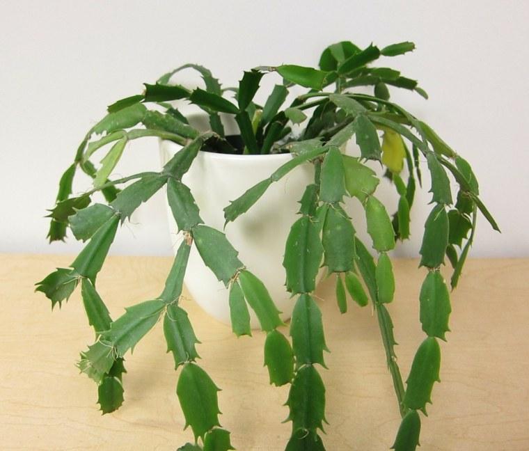 planta de cactus de Navidad sin flores