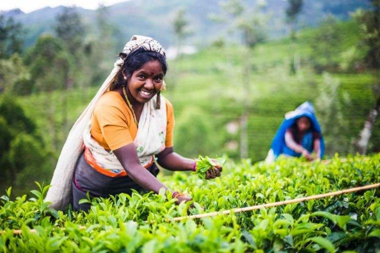mujeres-cosechando té verde
