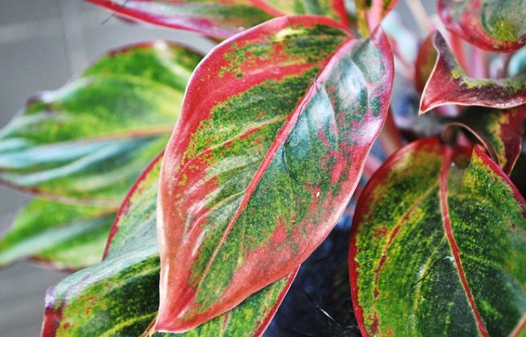 plantas ornamentales hojas rojas