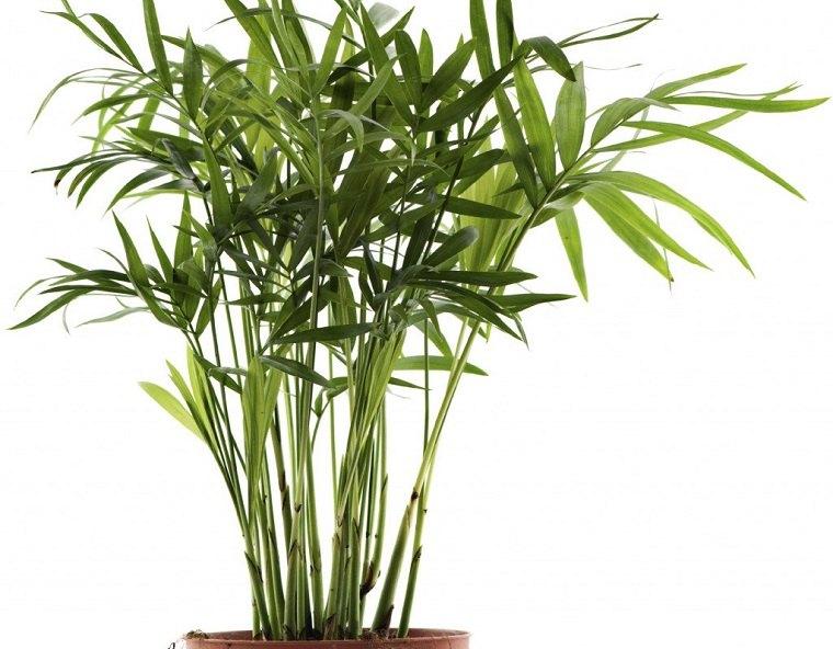 plantas ornamentales palmeras pequenas