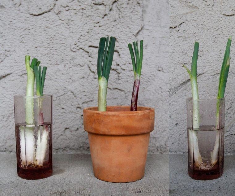 huerto en casa-cebolla-verde-cultivo