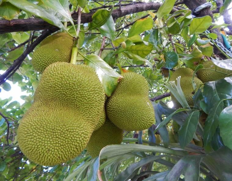 jackfruit arbol-en-Florida