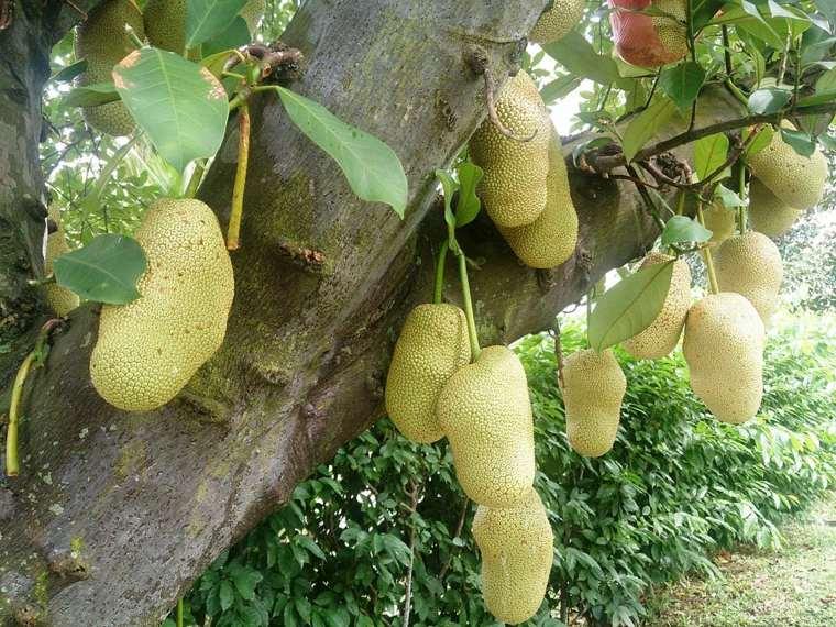 jackfruit colgando-Singapore