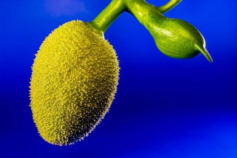 jackfruit fruta