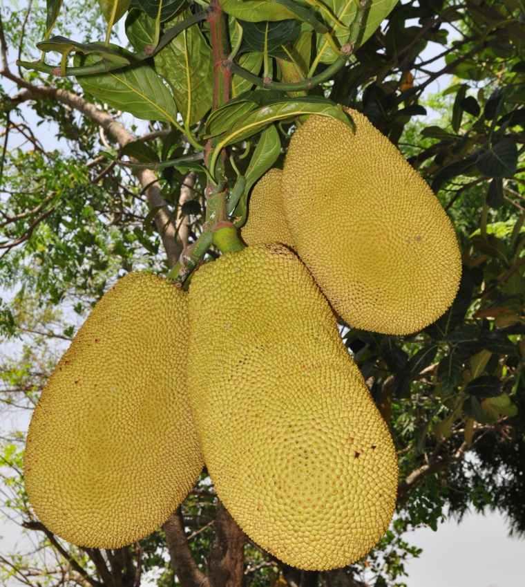 jackfruits-en-arbol