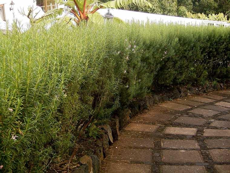 arbustos de romero