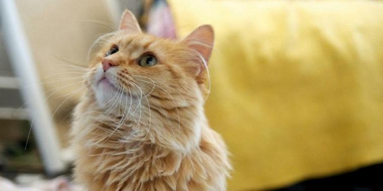 un gato de color-naranja