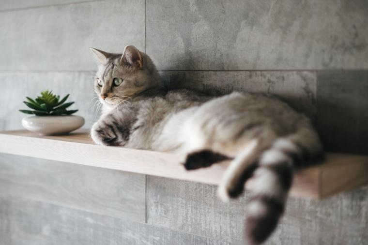 u gato descansa-en-el-estante
