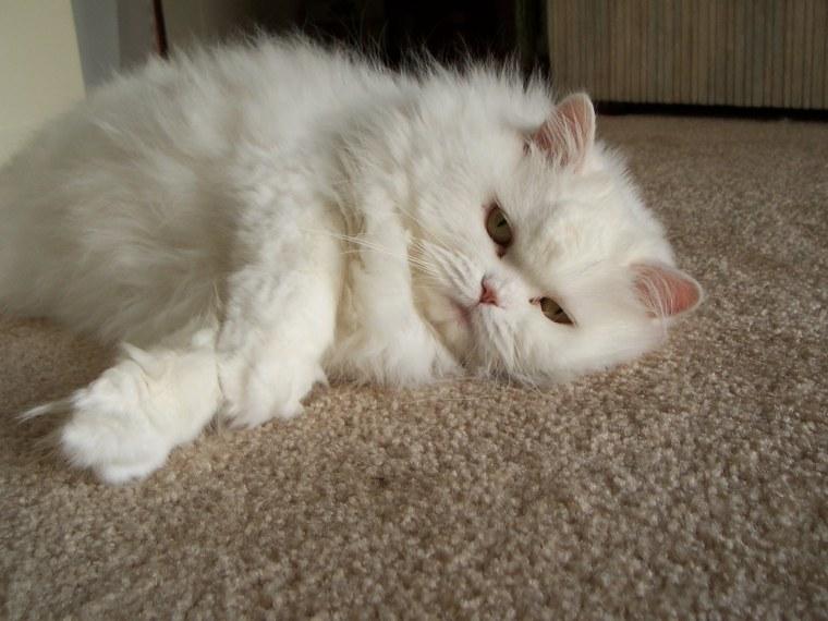 un gato perezoso