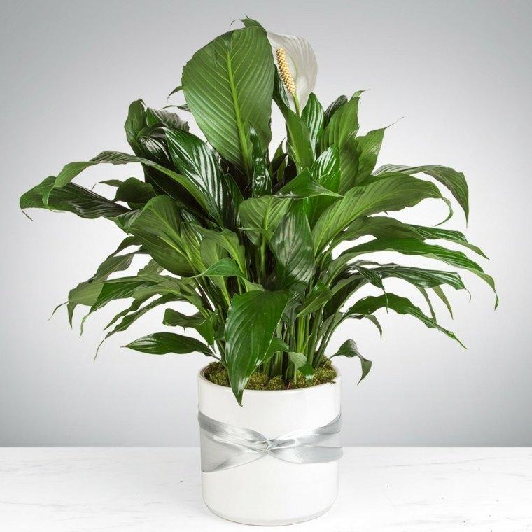Spathiphyllum-lirio-de-la-paz