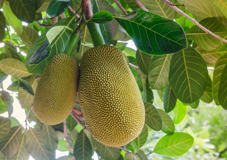 El cultivo del jackfruit es resistente a la sequía