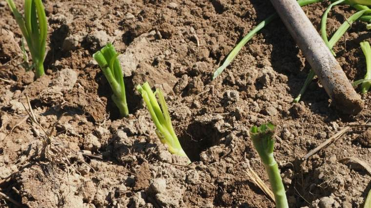 beneficios de la cebolla-plantacion-casera