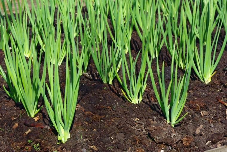 cebolla facil-plantacion-cuidados-casa