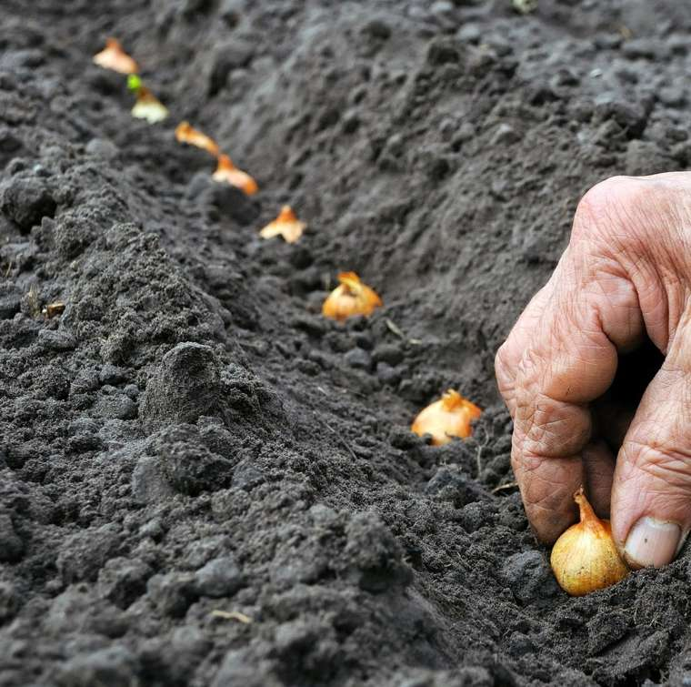 cebolla plantacion-facil-casa