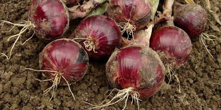 cultivo de cebolla cabezona-beneficios