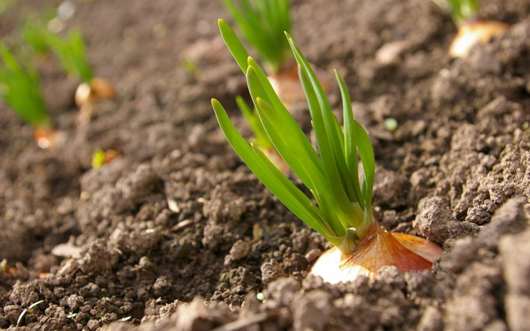 cultivo de cebolla cabezona-plantacion