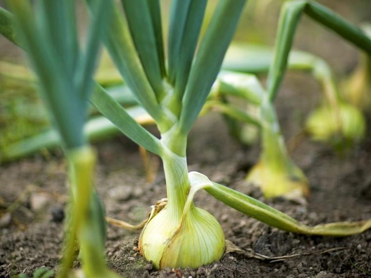 cultivo de cebolla larga-plantacion