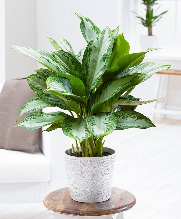 especias-de-plantas-bano-opciones-aglaonema