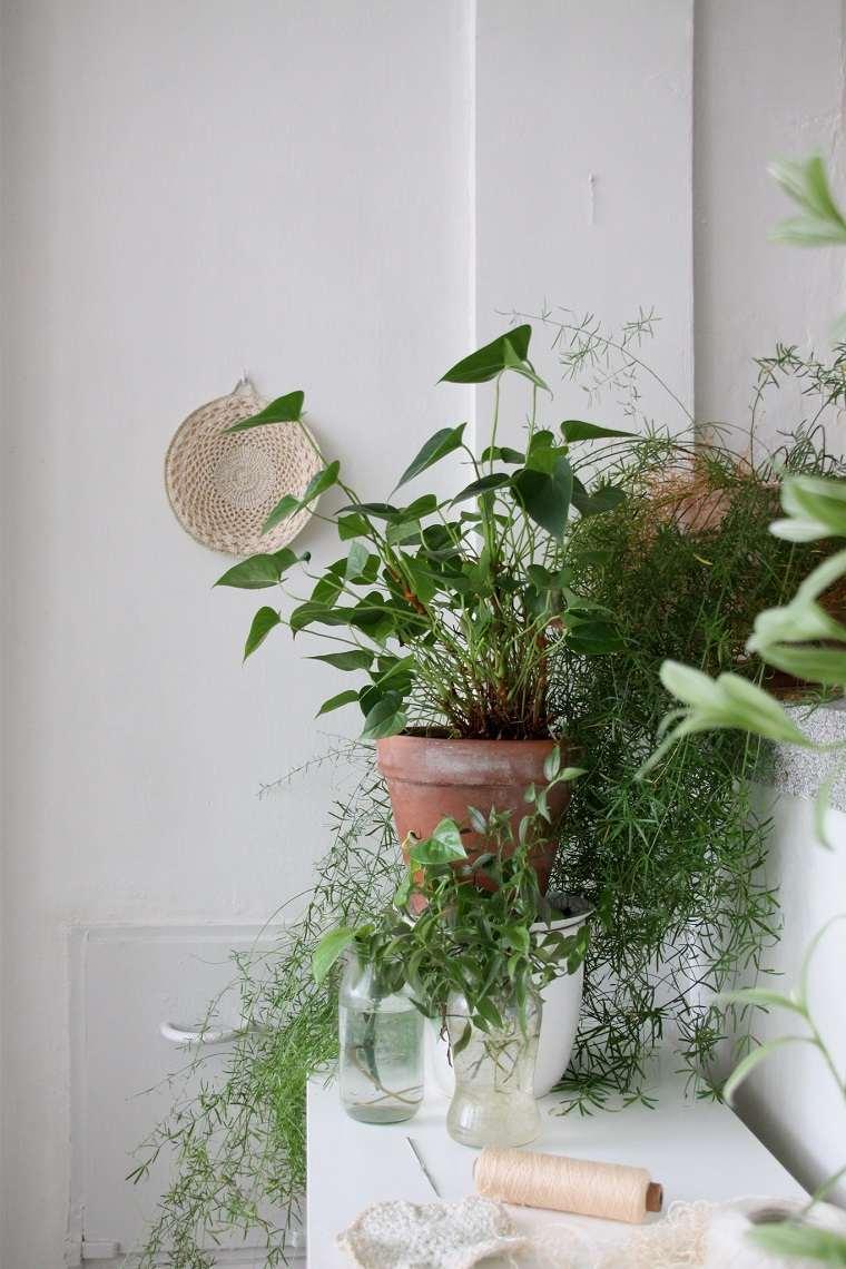 especias-de-plantas-bano-opciones-asparagus-aethiopicus